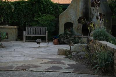 Peafowl copulation