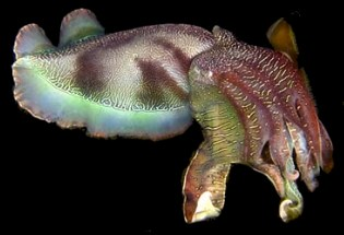 Iridescent cuttlefish