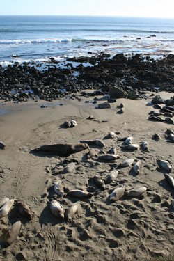 Elephant seal harems on the beach