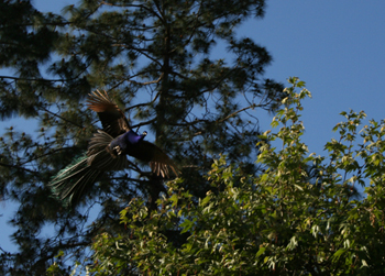Peacock in flight