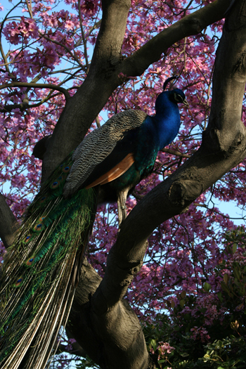 Peacock perching among some pink flowers