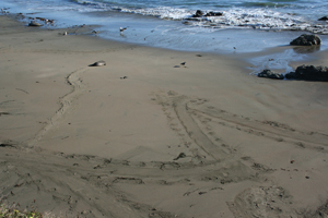 Elephant seals trace letters on the beach