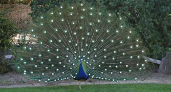 Experimental peacock