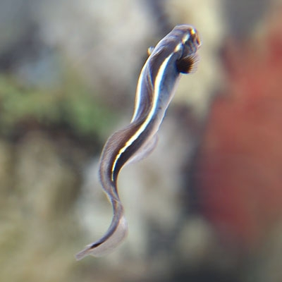 Juvenile convict fish