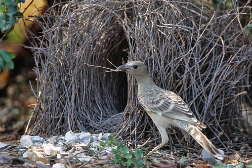 Great bowerbird male
