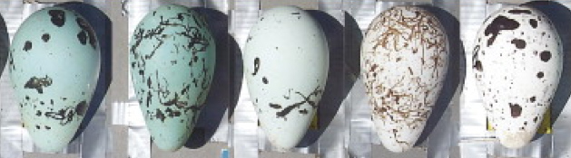 Common murre eggs