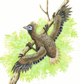 Hoatzin chick