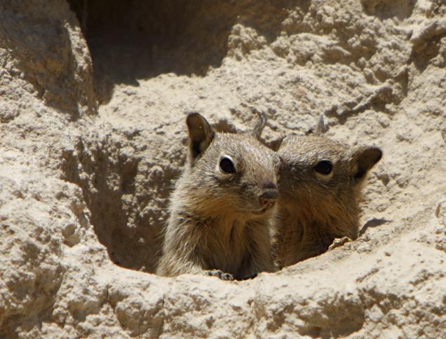 Belding's ground squirrel pups