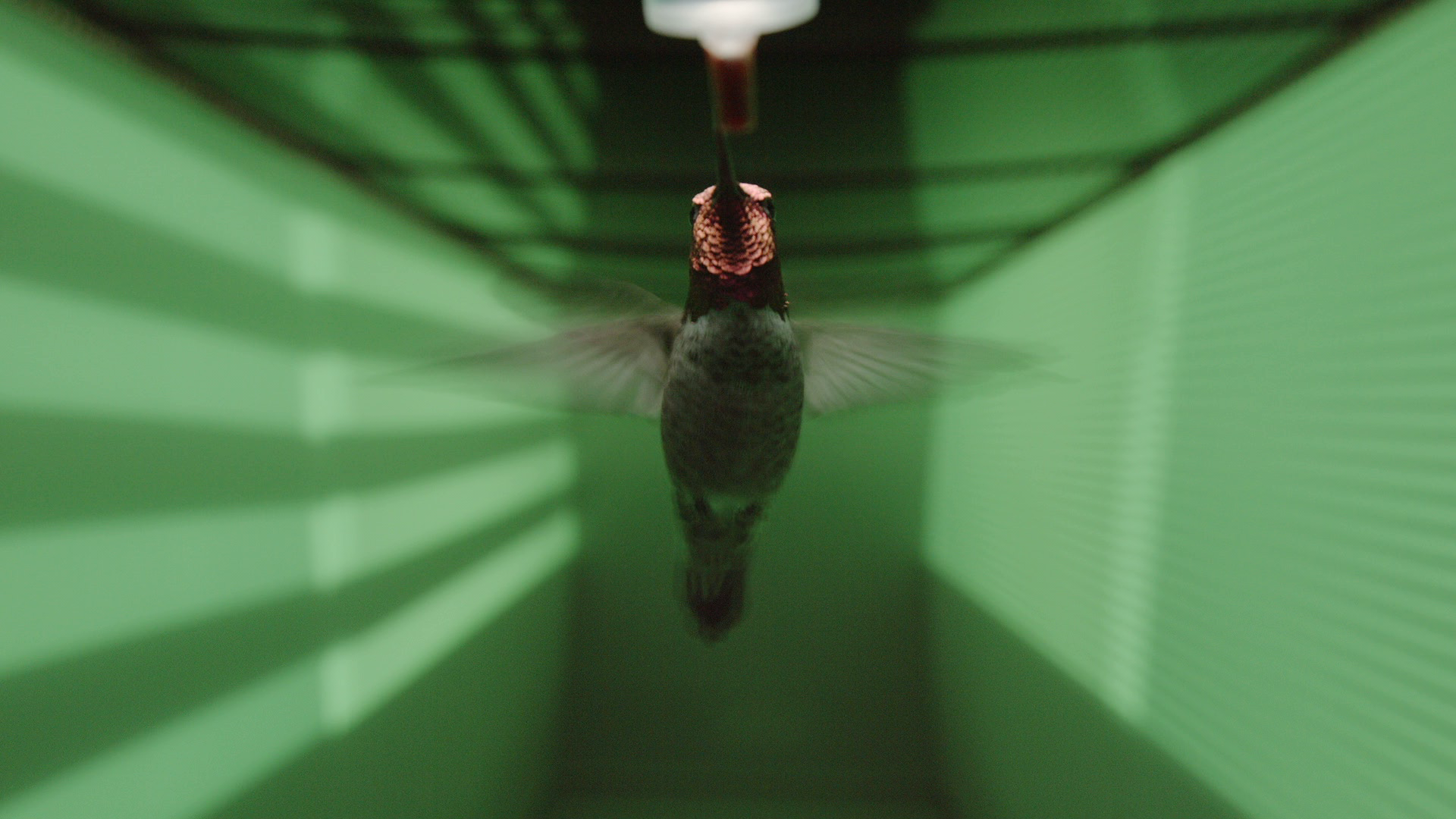 Hummingbird flight tunnel